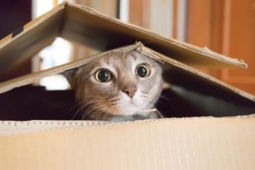 cat in box