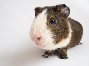 shutterstock_521877250.guinea pig