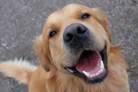 shutterstock_379727605.golden dog
